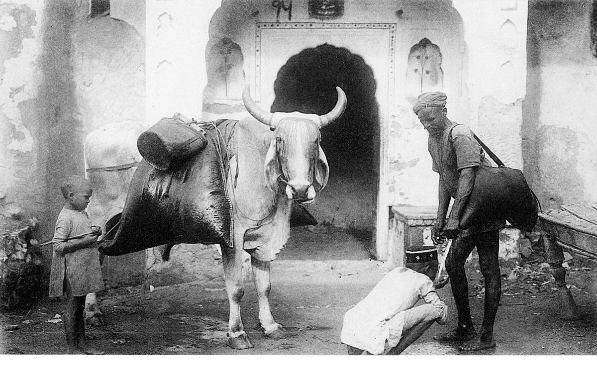 Bullock with water-skins & Bhisti. Jaipur