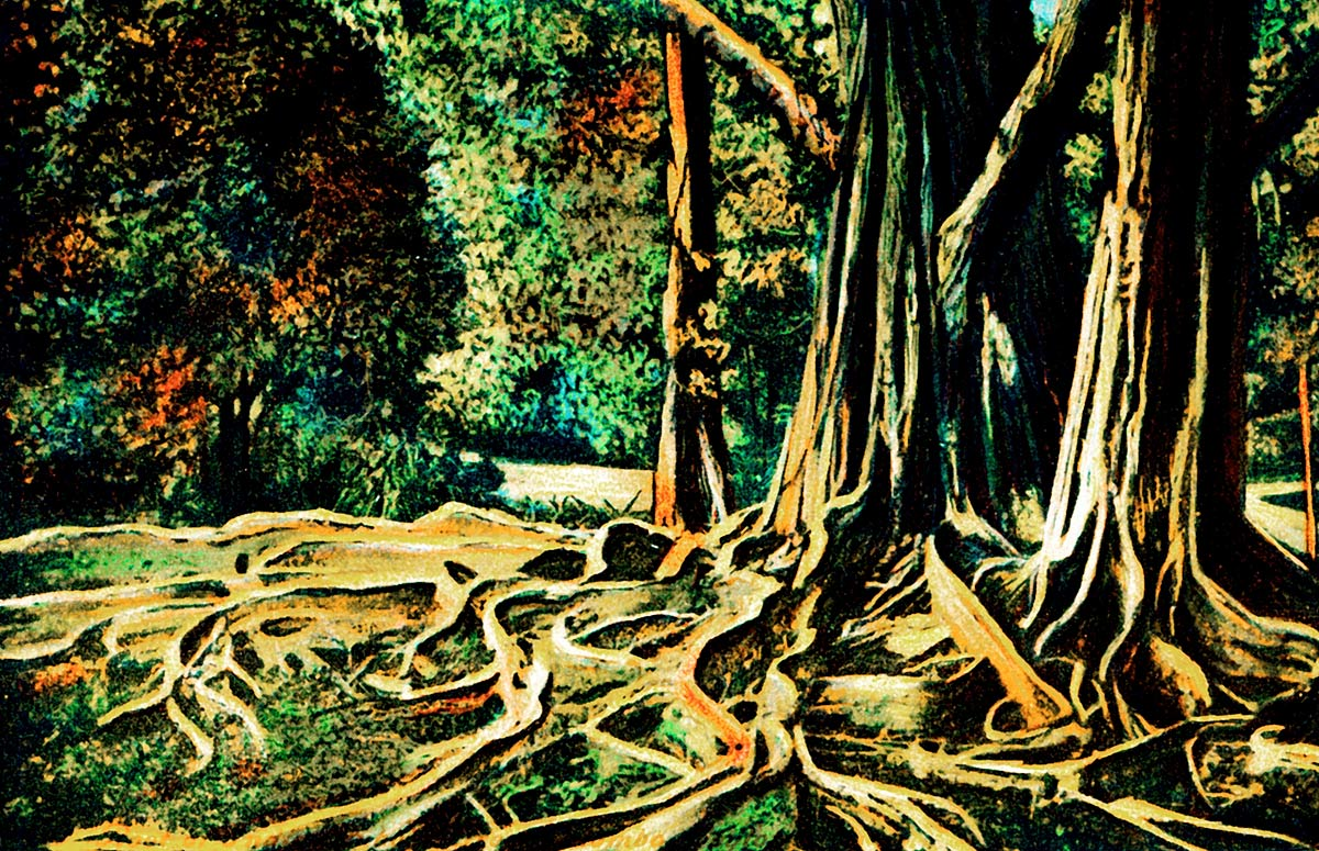 Root of an India Rubber Tree at Colombo, Ceylon