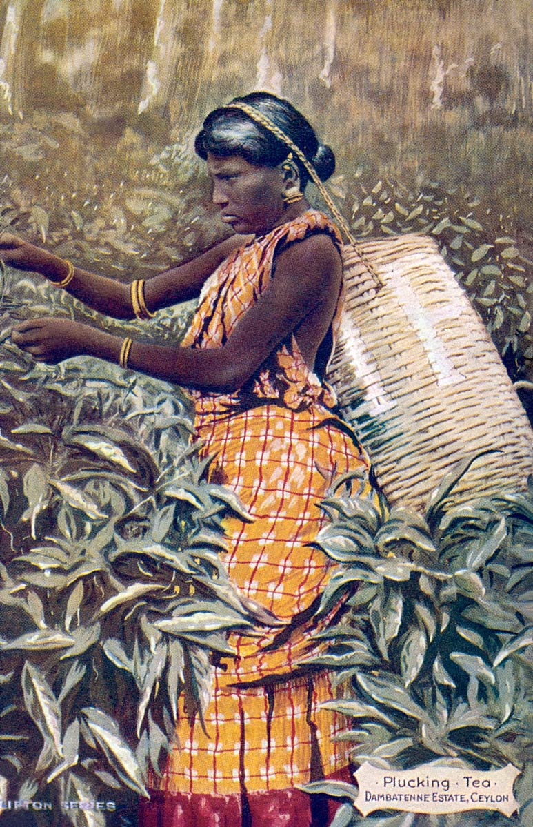 Plucking Tea, Dambatenne Estate, Ceylon