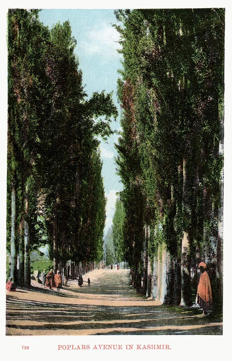 Poplars Avenue in Kashmir