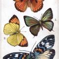 Asia Butterflies